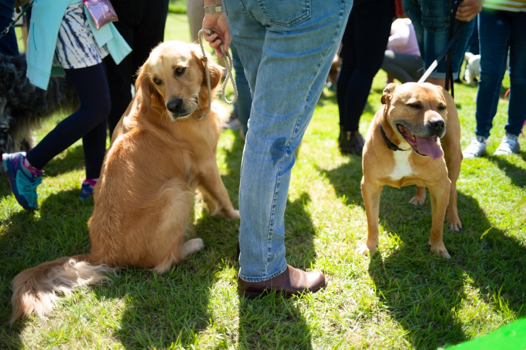 Two dogs, one sitting the other standing by someone wearing blue jeans
